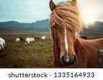 Icelandic Horse In The Field Of ...