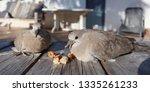 Turtle Dove Grey Couple...