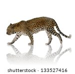 A Male Leopard Against A White...