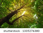 resak tembaga tree and branches ... | Shutterstock . vector #1335276380