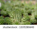 suzanna's euphorbia or suzanne... | Shutterstock . vector #1335280640