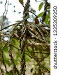 tinospora crispa plant | Shutterstock . vector #1335309350