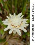 white flower etlingera elatior '... | Shutterstock . vector #1335314180