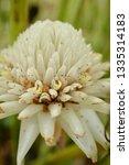 white flower etlingera elatior '... | Shutterstock . vector #1335314183