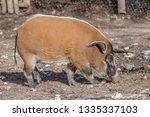 red river hog  potamochoerus... | Shutterstock . vector #1335337103