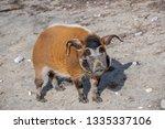 red river hog  potamochoerus... | Shutterstock . vector #1335337106