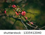 spring blooming quince.... | Shutterstock . vector #1335412040