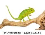 Chameleon  Chamaeleo Chameleon  ...