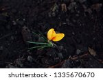 The First Crocus In Spring