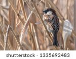 sparrow on reed at lake | Shutterstock . vector #1335692483