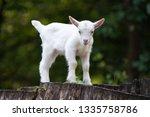 white baby goat standing on... | Shutterstock . vector #1335758786