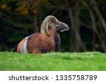 big european moufflon in the... | Shutterstock . vector #1335758789