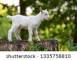 white baby goat standing on... | Shutterstock . vector #1335758810