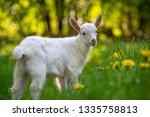 white baby goat standing on... | Shutterstock . vector #1335758813