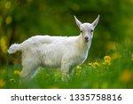 white baby goat standing on... | Shutterstock . vector #1335758816