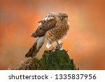 eurasian sparrowhawk  accipiter ... | Shutterstock . vector #1335837956