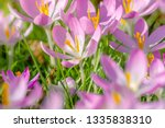 close up of pink crocuses on a...   Shutterstock . vector #1335838310