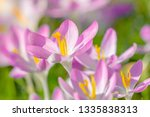 close up of pink crocuses on a...   Shutterstock . vector #1335838313