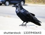 A Beautiful Raven Sits On A...