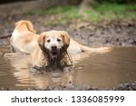 Small photo of Golden retriever couple cooling off in a mud puddle after playing fetch the ball on summer day.
