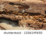 Termites are eating the wood of ...