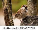 common house sparrow bird male... | Shutterstock . vector #1336175240