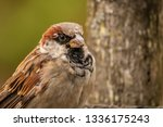 common house sparrow bird male... | Shutterstock . vector #1336175243