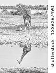 a namibian giraffe  giraffa... | Shutterstock . vector #1336267490
