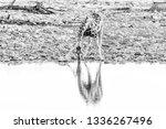 a namibian giraffe  giraffa... | Shutterstock . vector #1336267496