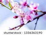 beautiful blooming peach trees... | Shutterstock . vector #1336363190