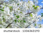 flowers of the cherry blossoms... | Shutterstock . vector #1336363193