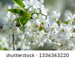 flowers of the cherry blossoms... | Shutterstock . vector #1336363220