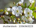 flowers of the cherry blossoms... | Shutterstock . vector #1336363223