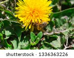 a bee collects pollen on a... | Shutterstock . vector #1336363226