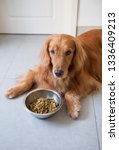 the golden retriever dog is... | Shutterstock . vector #1336409213