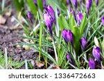 blooming spring flower crocus...   Shutterstock . vector #1336472663