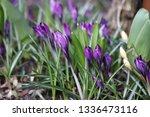 blooming spring flower crocus...   Shutterstock . vector #1336473116