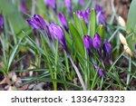 blooming spring flower crocus...   Shutterstock . vector #1336473323