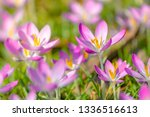 close up of pink crocuses on a...   Shutterstock . vector #1336516613