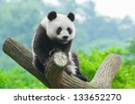 panda bear sitting in tree | Shutterstock . vector #133652270