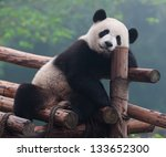 Cute Panda Bear Posing For...