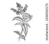 mint spearmint plant sketch... | Shutterstock . vector #1336542173