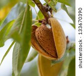 ripe almonds on the tree branch | Shutterstock . vector #133670390