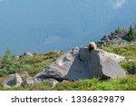 Marmot Rock Chuck Sitting On A...