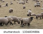 outdoor view of flock of sheep... | Shutterstock . vector #1336834886