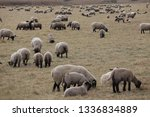 outdoor view of flock of sheep... | Shutterstock . vector #1336834889