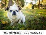 A Senior Pug Chihuahua Mix Is...