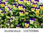 Multi Coloured Bright Pansies...