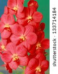orchid   red flowers | Shutterstock . vector #133714184