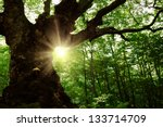 Summer landscape with old tree in the forest and sun in the leaves